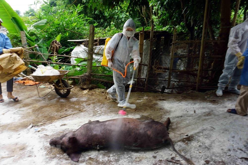 Hà Nội tăng cường kiểm tra, giám sát chặt dịch tả lợn châu Phi