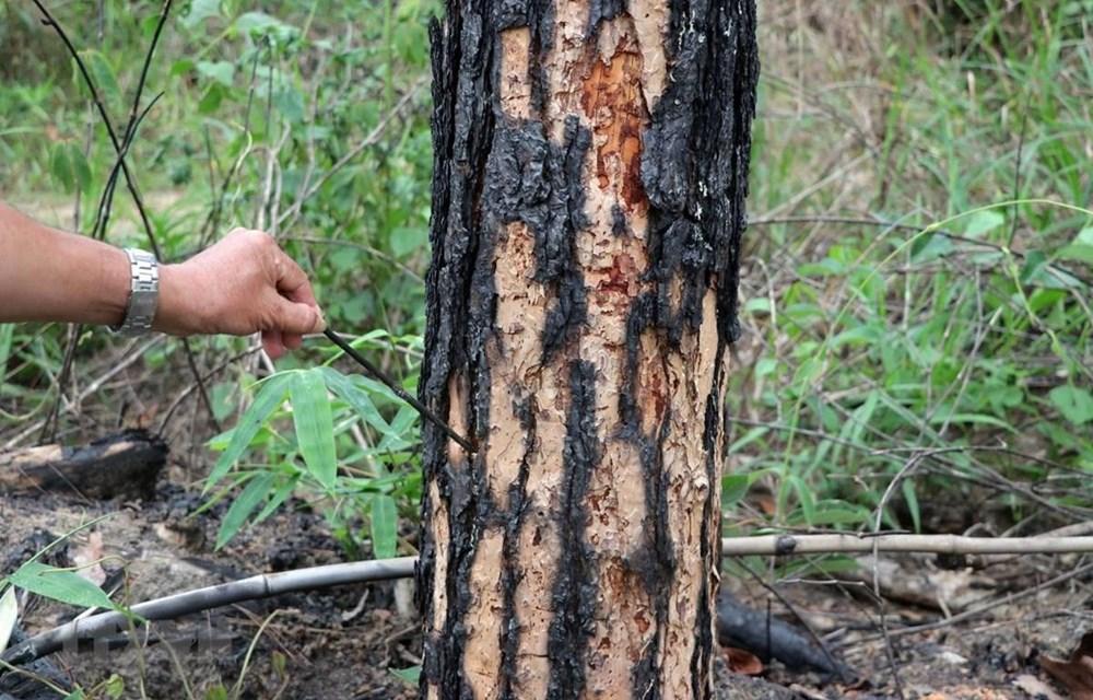 Khởi tố, bắt giam 6 đối tượng hạ độc 600 cây thông ở Lâm Đồng