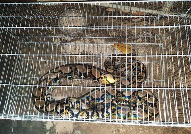 Quảng Bình: Người dân giao nộp con trăn gấm quý hiếm nặng 20 kg