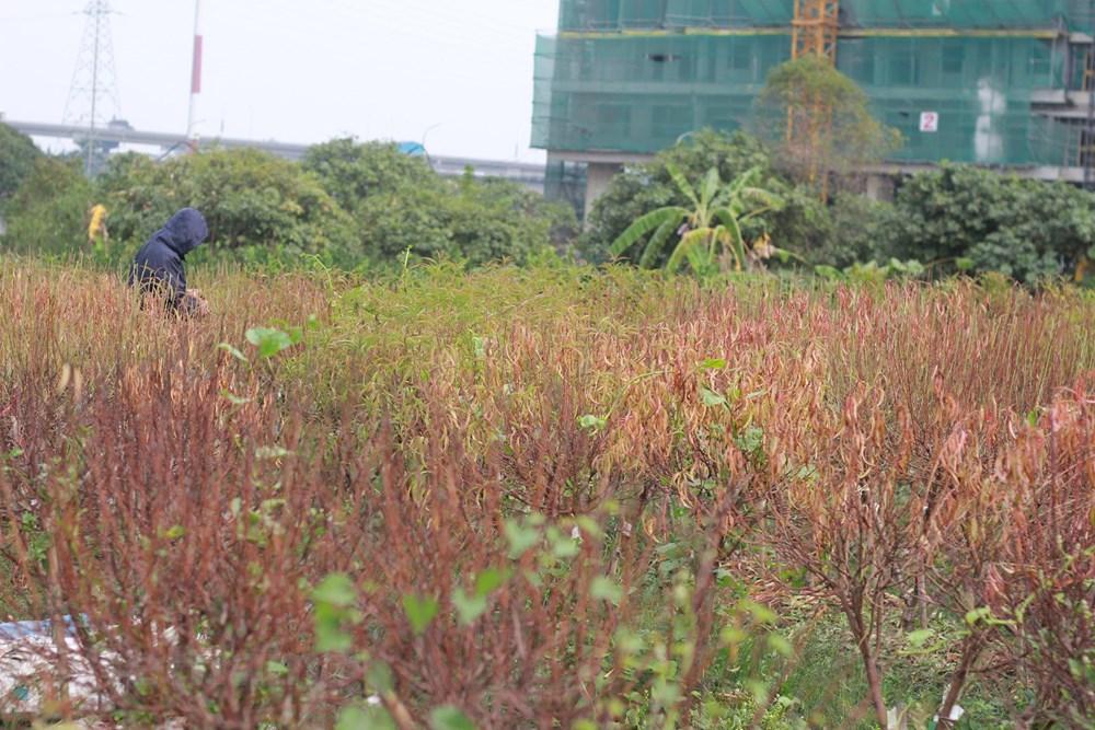 Hà Nội: Người dân 'khóc ròng' vì hàng nghìn gốc đào chết khô - 1
