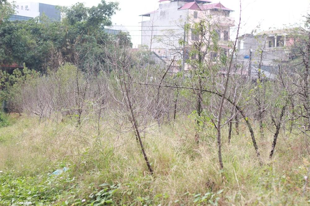 Hà Nội: Người dân 'khóc ròng' vì hàng nghìn gốc đào chết khô - 2