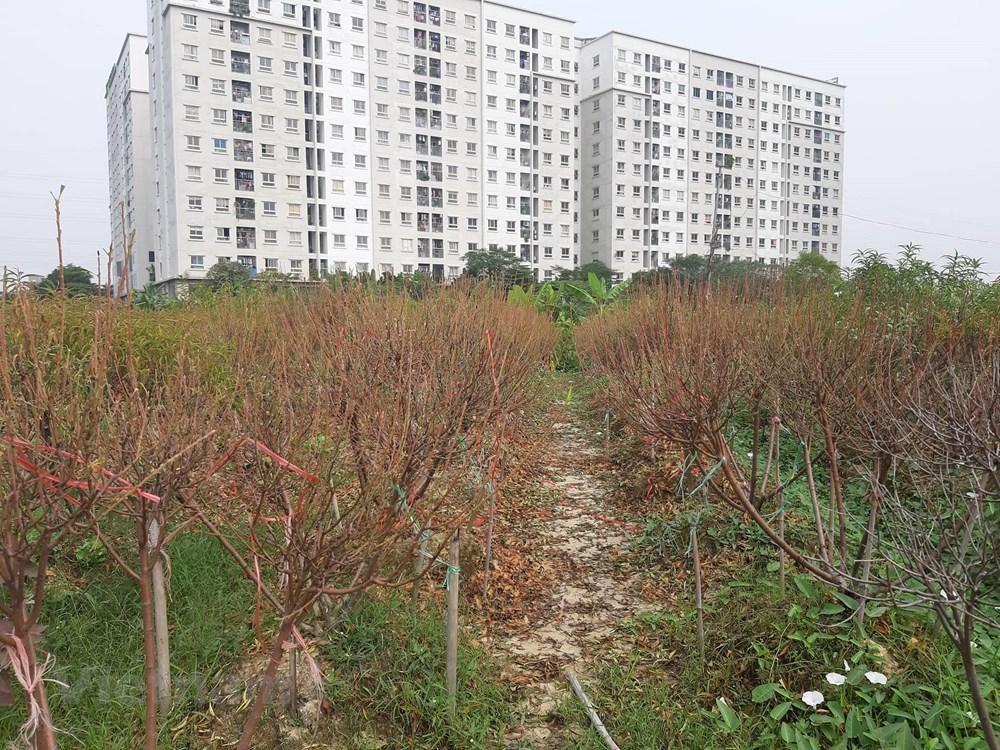 Hà Nội: Người dân 'khóc ròng' vì hàng nghìn gốc đào chết khô - 3