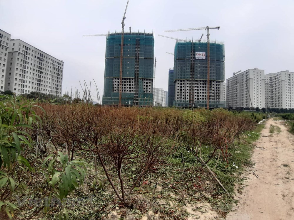 Hà Nội: Người dân 'khóc ròng' vì hàng nghìn gốc đào chết khô - 4