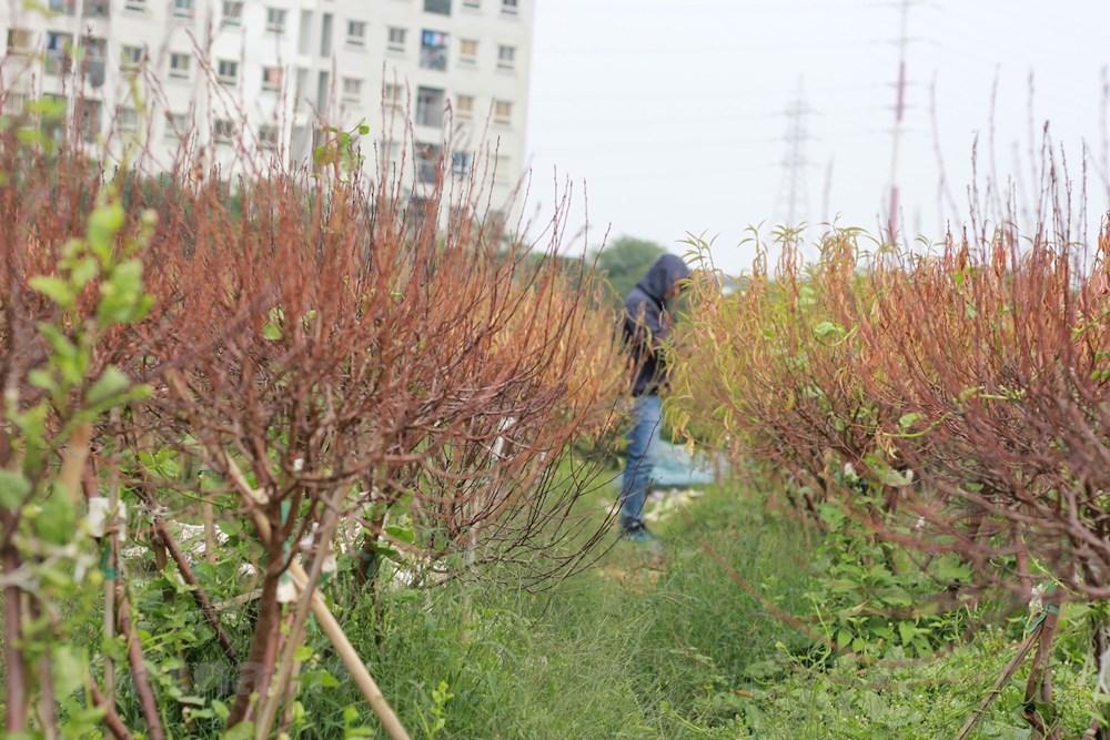 Hà Nội: Người dân 'khóc ròng' vì hàng nghìn gốc đào chết khô - 5