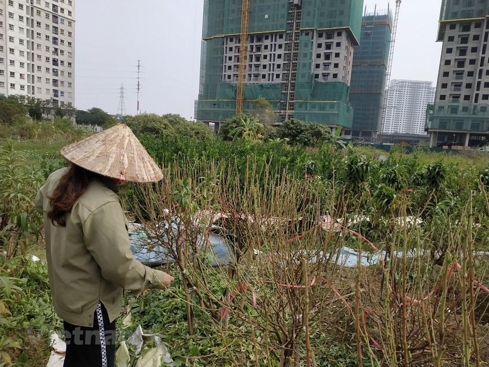 Hà Nội: Người dân 'khóc ròng' vì hàng nghìn gốc đào chết khô - 6