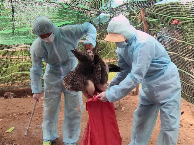 Bà Rịa-Vũng Tàu xuất hiện 2 ổ dịch cúm gia cầm chủng H5N6