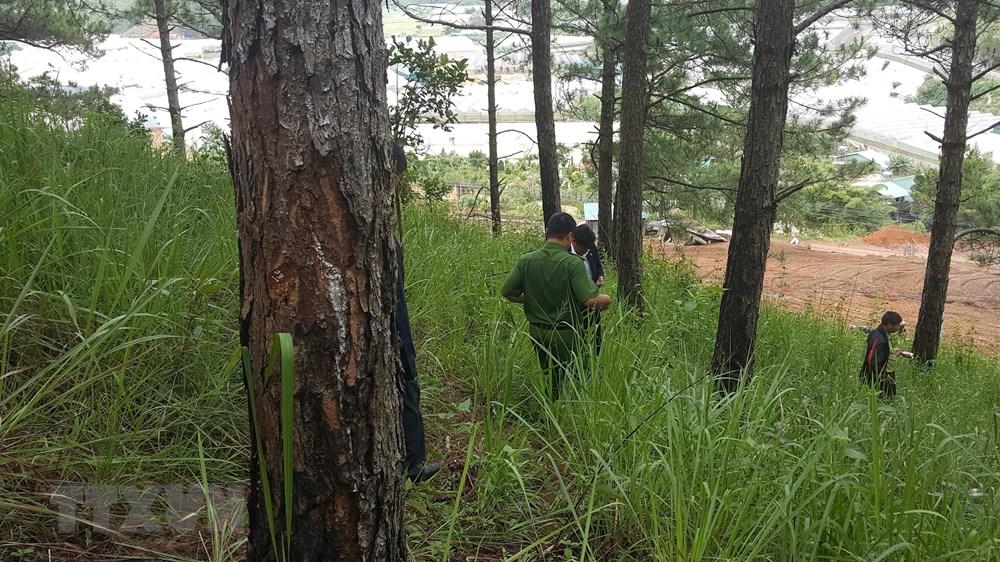 Lâm Đồng: Phát hiện vụ hủy hoại rừng thông ba lá tại Đà Lạt