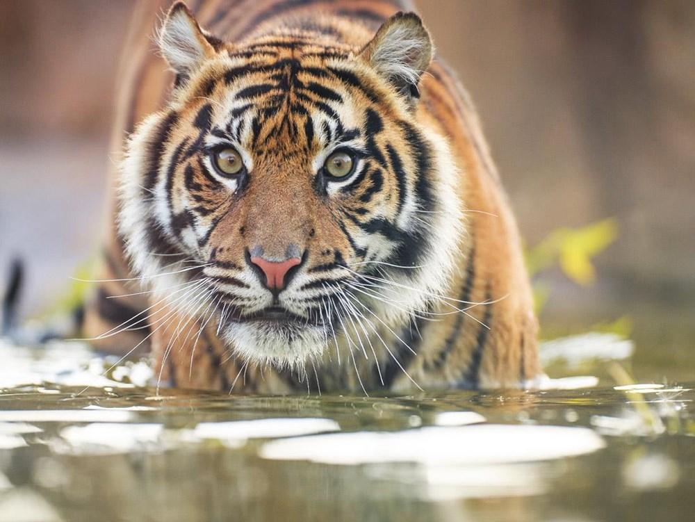 Hơn 2.300 con hổ bị giết hại và mua bán trái phép trong 9 năm qua