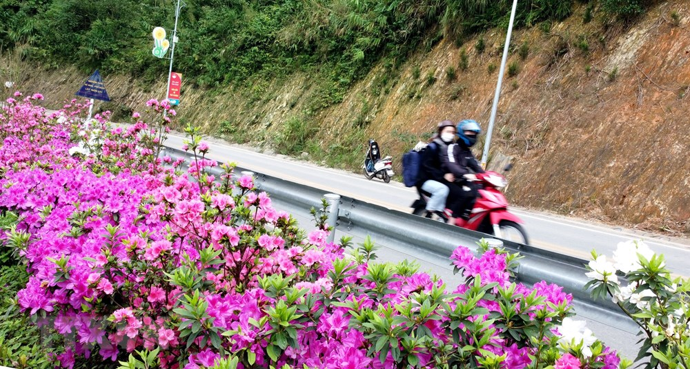 [Photo] Len Tam Dao ngam hoa do quyen bung no khoe sac hinh anh 5
