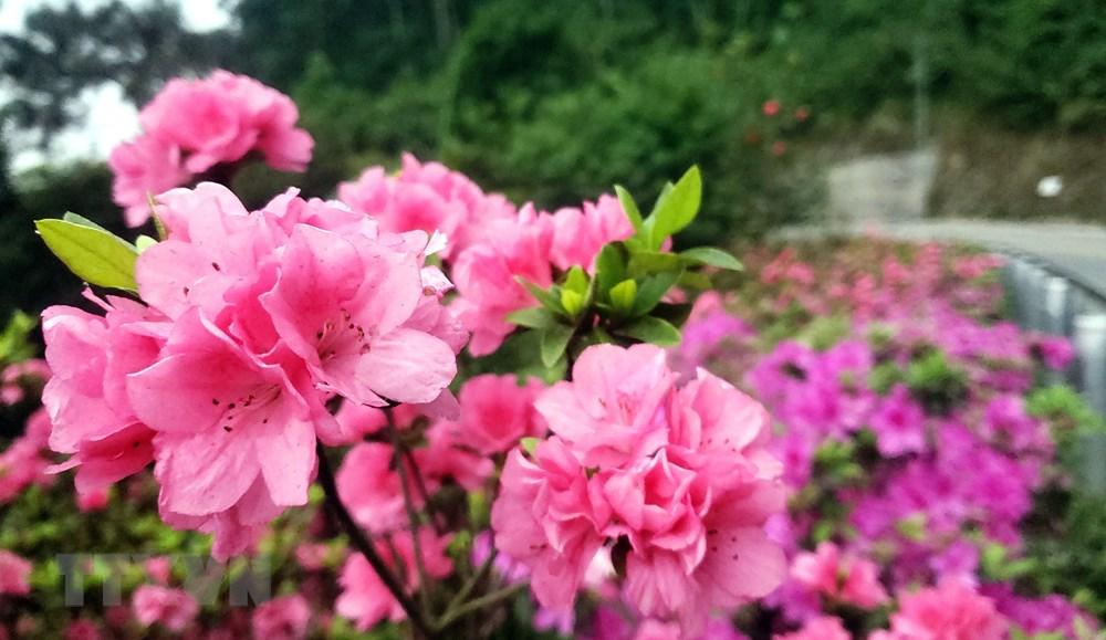 [Photo] Len Tam Dao ngam hoa do quyen bung no khoe sac hinh anh 7