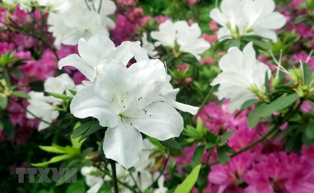 [Photo] Len Tam Dao ngam hoa do quyen bung no khoe sac hinh anh 8