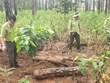 Lâm Đồng: Phát hiện 400 lóng gỗ thông bị chôn lấp dưới đất