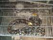 Quảng Bình: Người dân giao nộp con trăn gấm quý hiếm nặng 20kg