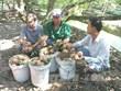 Giá hồng xiêm tại Tiền Giang tăng mạnh, nông dân lãi trên 50%