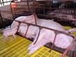Tỉnh Hà Tĩnh phát hiện ổ dịch tả lợn châu Phi đầu tiên