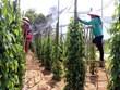 Rà soát và định hướng phát triển cây hồ tiêu Việt Nam
