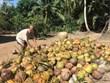 Trà Vinh: Giá dừa khô tăng cao trong mùa dừa treo buồng