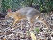 Hươu chuột xuất hiện tại Việt Nam sau 30 năm nghi tuyệt chủng