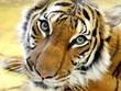 [Video] Con hổ đầu tiên trên thế giới dương tính với SARS CoV-2