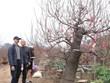 [Photo] Hà Nội: Làng đào Nhật Tân tất bật vào vụ Tết Nguyên đán