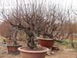 [Video] Thuận thời tiết: đào, quất hứa hẹn mùa hoa Tết bội thu