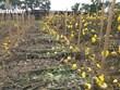 [Video] Làng hoa Tây Tựu lao đao do ảnh hưởng của dịch bệnh COVID-19