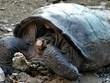 [Video] Phát hiện rùa cái thuộc loài rùa khổng lồ đã tuyệt chủng