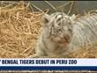 [Video] Vườn thú Peru đỡ đẻ thành công hổ Bengal quý hiếm