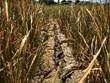 [Photo] Đắk Lắk: Hạn hán kéo dài gây thiệt hại hơn 1.000ha lúa nước