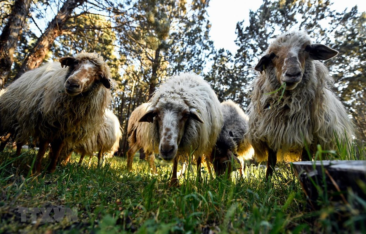 Đàn cừu tại công viên Casa de Campo ở Madrid, Tây Ban Nha ngày 26/3. (Ảnh: AFP/TTXVN)