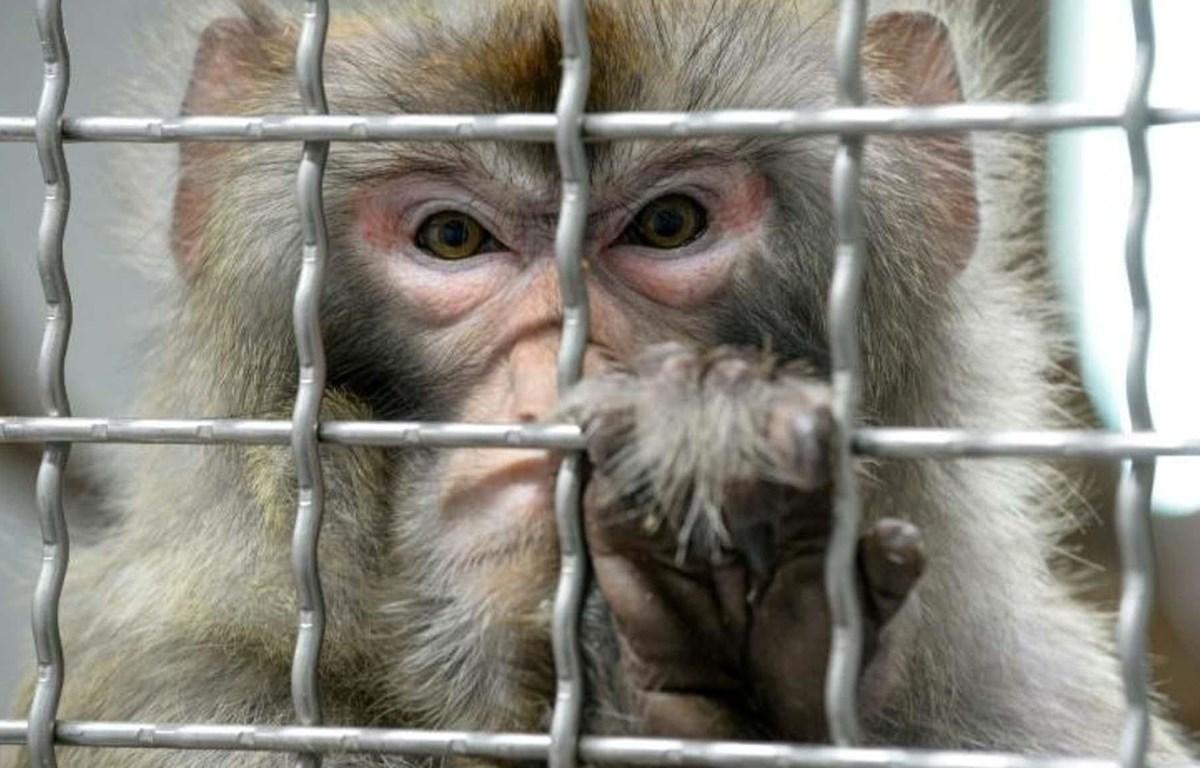 Tranh luận về đạo đức y học bằng hành động cấy ghép gene não người vào khỉ. (Nguồn: Daily Mail)