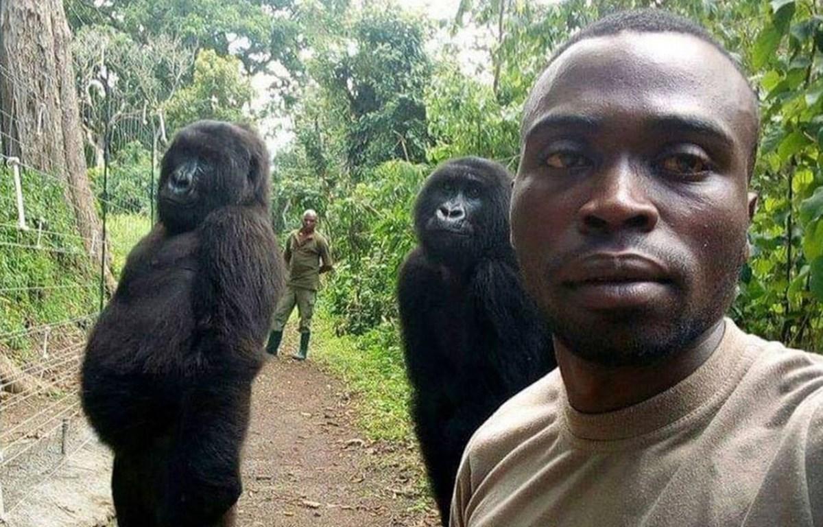 Mathieu Shamavu selfie với 2 con khỉ đột. (Nguồn: sky.com)
