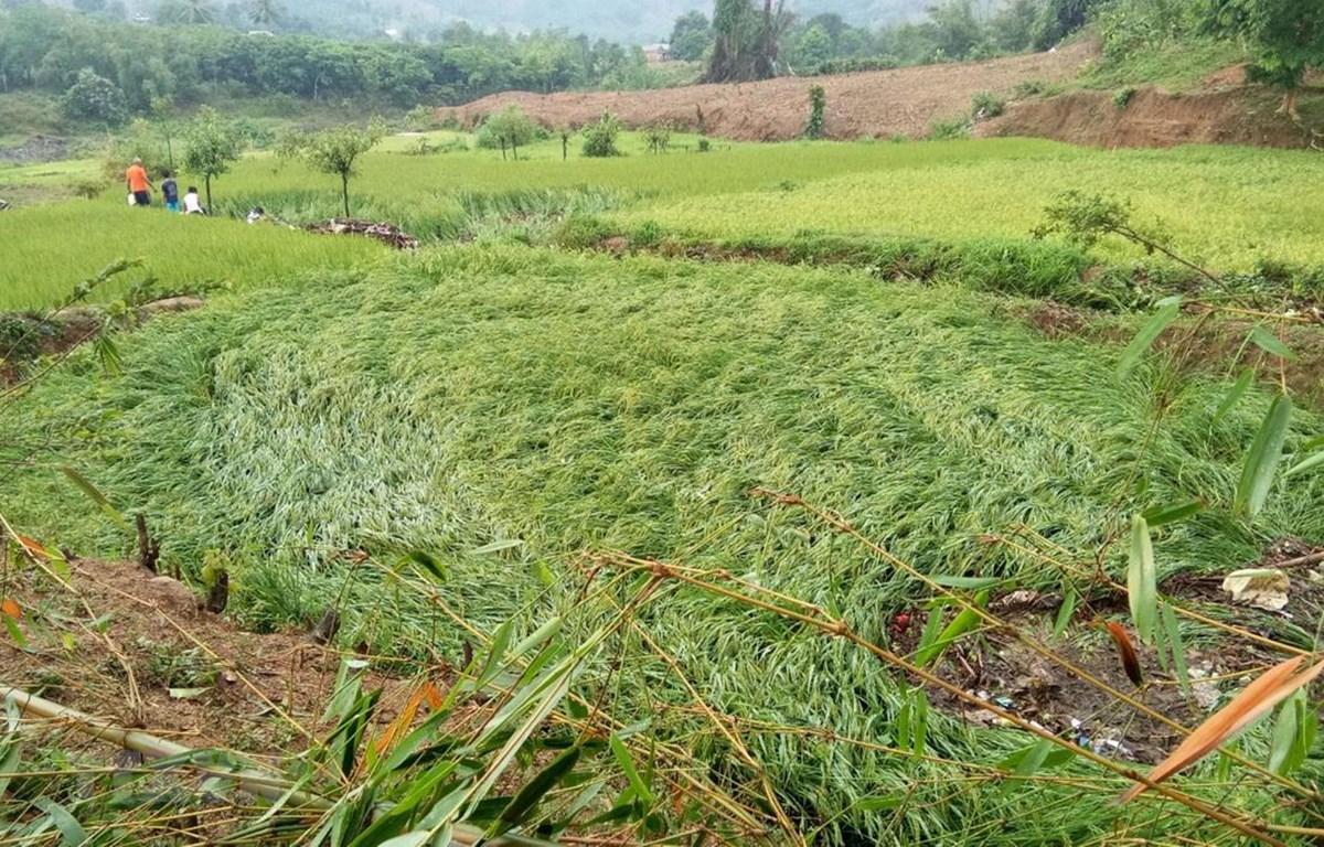 Ruộng lúa bị đổ ngã do mưa đá kèm lốc xoáy. (Ảnh: TTXVN phát)