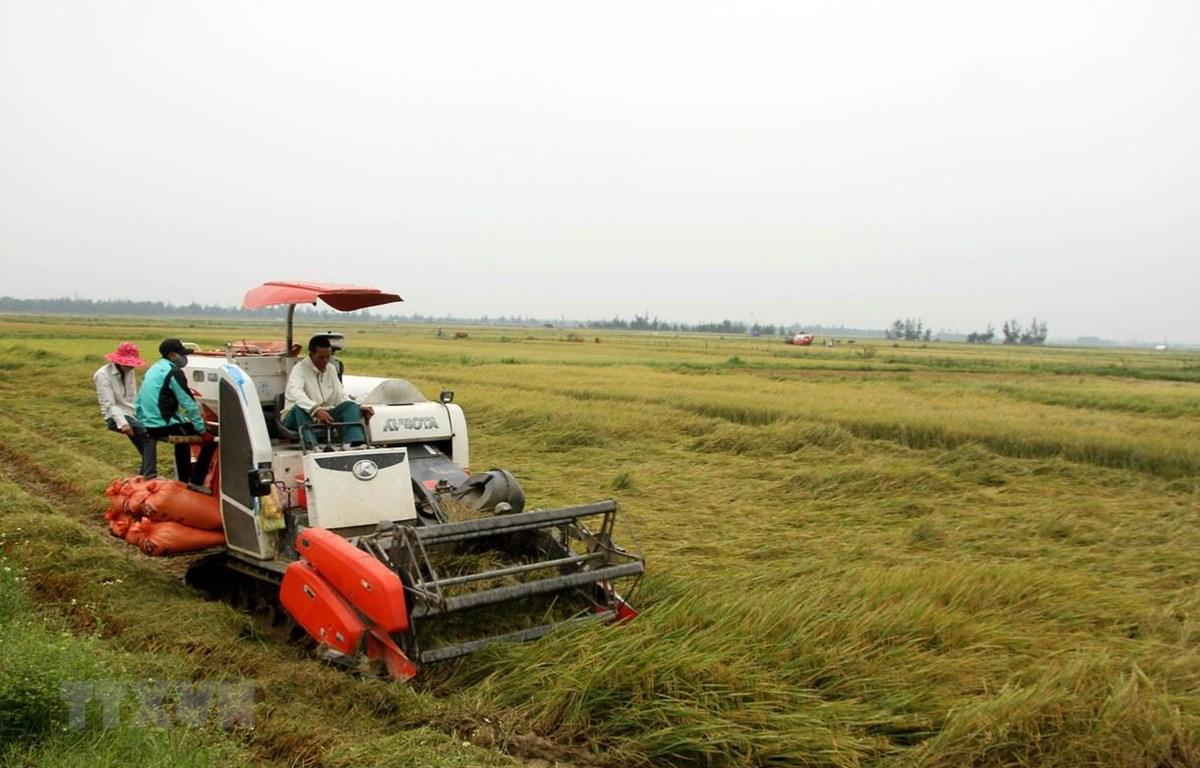Để hạn chế thiệt hại, nhiều gia đình ở xã Hàm Ninh, huyện Quảng Ninh (Quảng Bình) phải tiến hành thu hoạch sớm. (Ảnh: Văn Tý/TTXVN)