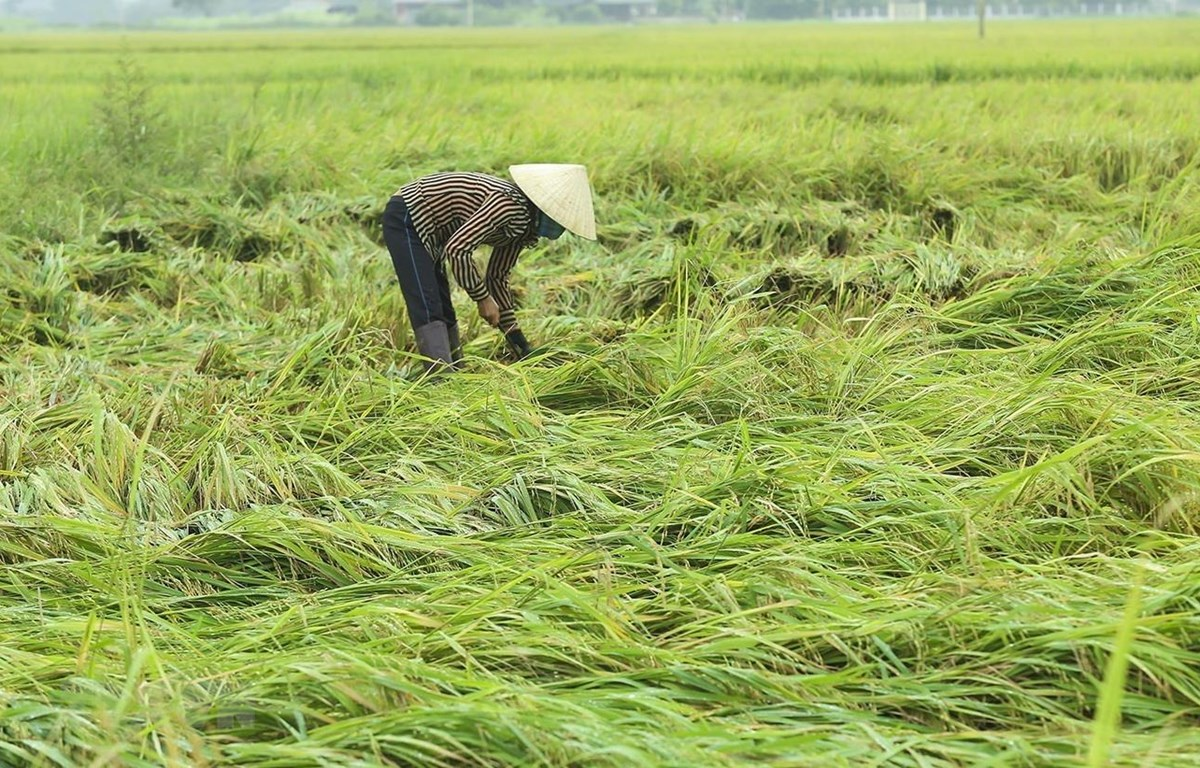Người dân thu hoạch phần diện tích lúa bị gãy rụng, đổ rạp sau trận mưa lốc. (Ảnh: Phan Tuấn Anh/TTXVN)