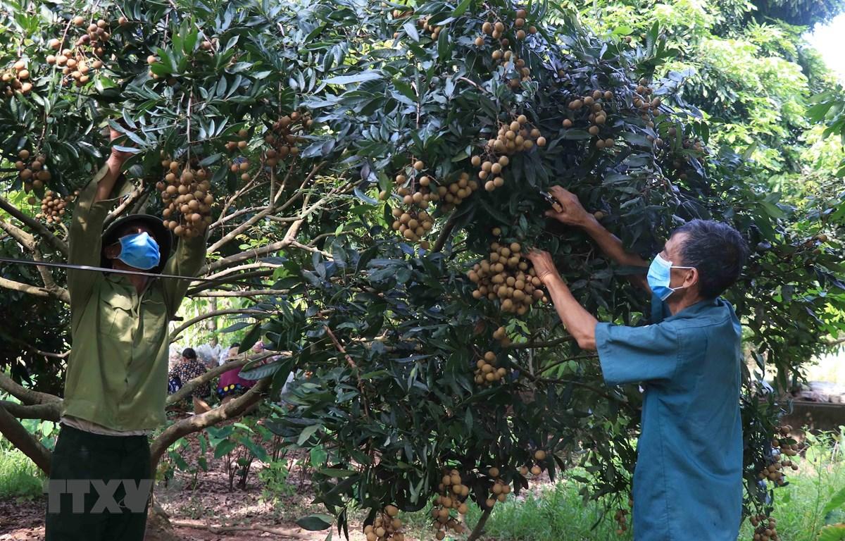 Người dân Hưng Yên thu hoạch nhãn tại vườn gia đình. (Ảnh: Đinh Tuấn/TTXVN)