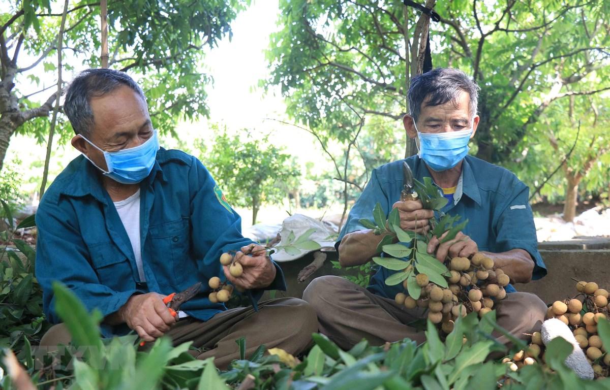 Người dân trồng nhãn Hưng Yên thu hoạch nhãn. (Ảnh: Đinh Tuấn/TTXVN)