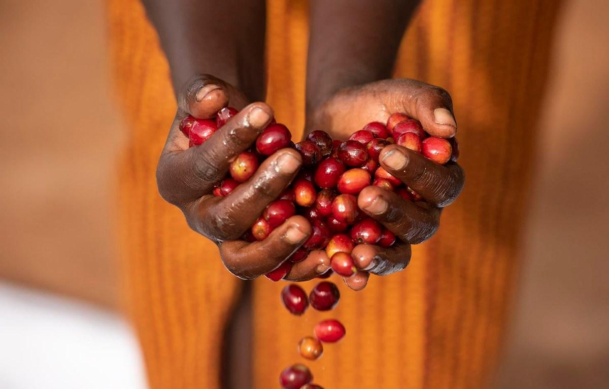 """Phụ nữ Rwanda với hạt càphê """"gánh"""" cả nền kinh tế đất nước này. (Ảnh: Melissa Lyttle)"""