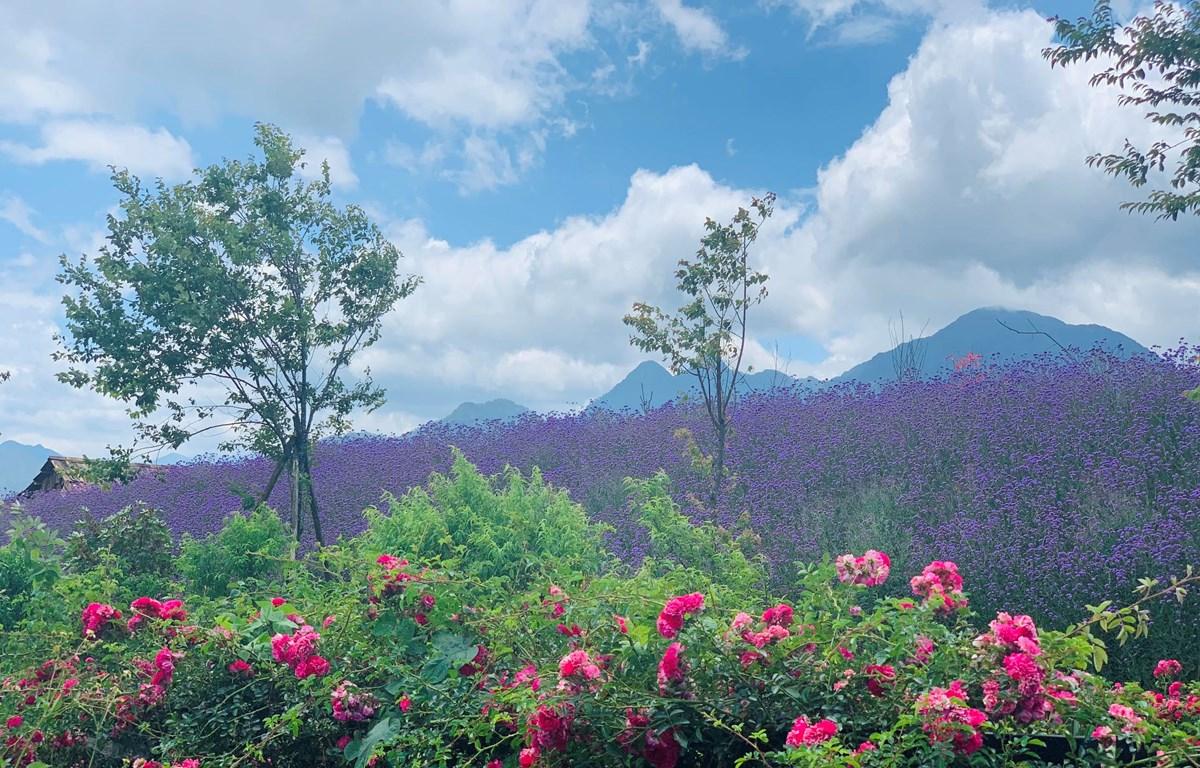 Sapa đón nhận kỷ lục Thung lũng hoa hồng lớn nhất Việt Nam
