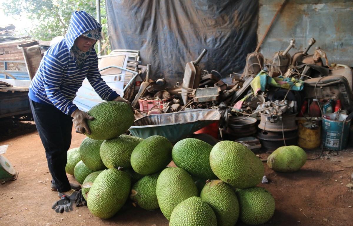 Thương lái thu mua mít Thái tại xã Nghĩa Thành, huyện Châu Đức, để xuất đi Trung Quốc. (Ảnh: Hoàng Nhị/TTXVN)