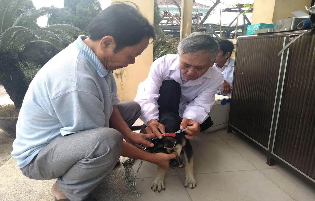 Tiêm phòng dại cho đàn chó nuôi. (Nguồn: TTXVN)