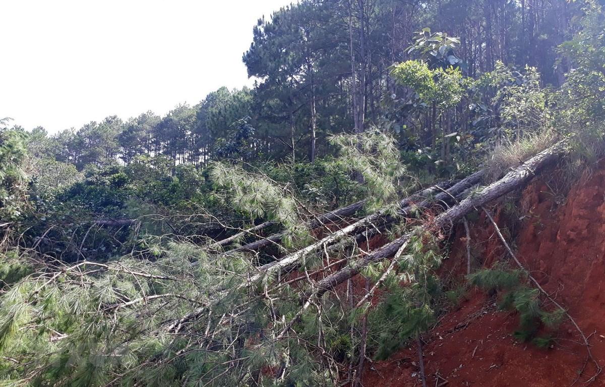 Rừng bị chặt phá trong rạng sáng ngày 14/5/2019 tại thị trấn Nam Ban. (Ảnh: Quốc Hùng/TTXVN)