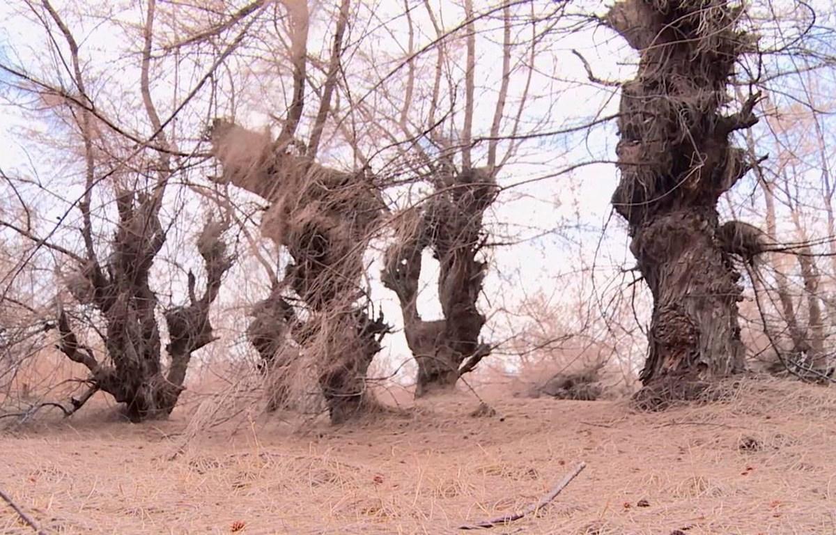 Rừng phòng hộ chủ yếu trồng cây phi lao, có khả năng chịu nắng hạn, nhưng vẫn bị chết. (Ảnh: Xuân Triệu/TTXVN)
