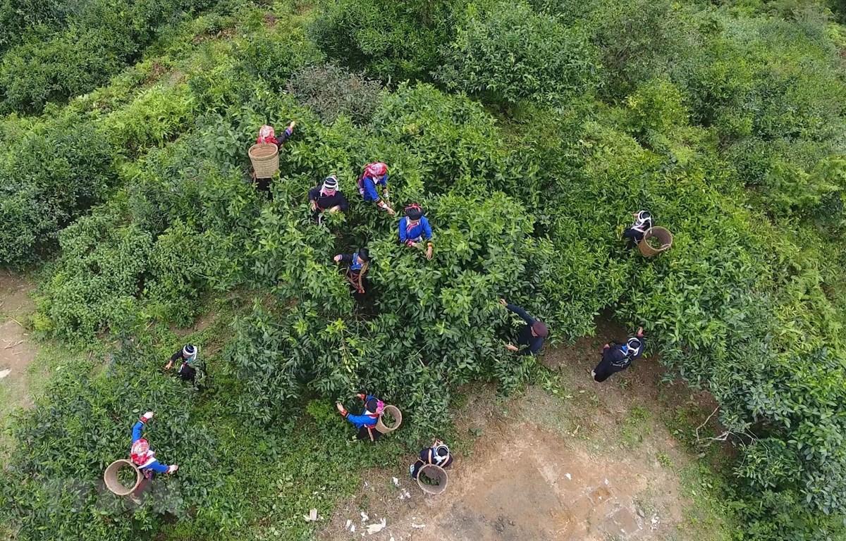 Người dân xã Túng Sán, huyện Hoàng Su Phì (Hà Giang) thu hái chè shan tuyết. (Ảnh: Nguyễn Chiến/TTXVN)