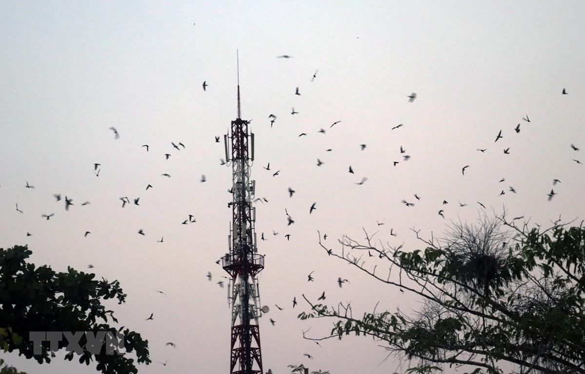 Đàn chim yến tập trung về nhà nuôi trên địa bàn huyện Giồng Riềng (Kiên Giang). (Ảnh: Lê Huy Hải/ TTXVN)