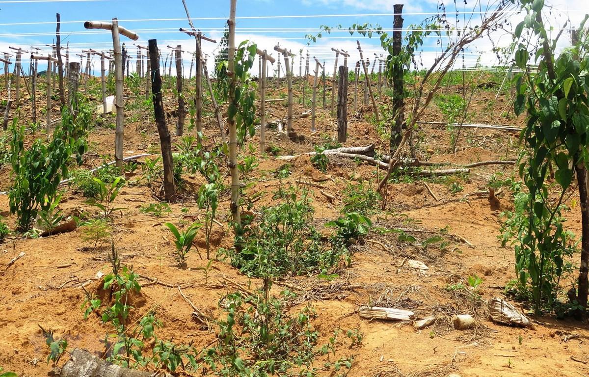 Vườn Sacha Inchi bị héo khô do nắng nóng. (Ảnh: Phước Ngọc/TTXVN)