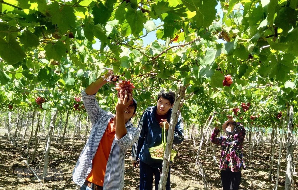 Nhiều nhà vườn ở Thái An, huyện Ninh Hải trồng nho kết hợp với làm du lịch trải nghiệm tham quan vườn nho. (Ảnh: Công Thử/TTXVN)