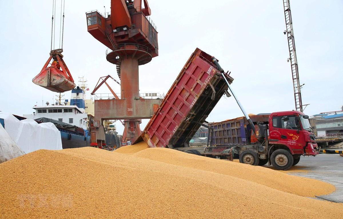 Bốc dỡ đậu tương nhập khẩu tại cảng Nam Thông thuộc tỉnh Giang Tô, Trung Quốc. (Ảnh: AFP/TTXVN)