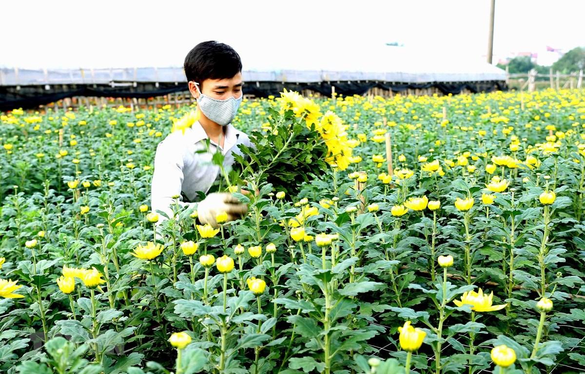 Người dân tây Tựu thu hoạch hoa cúc. (Ảnh: Vũ Sinh/TTXVN)