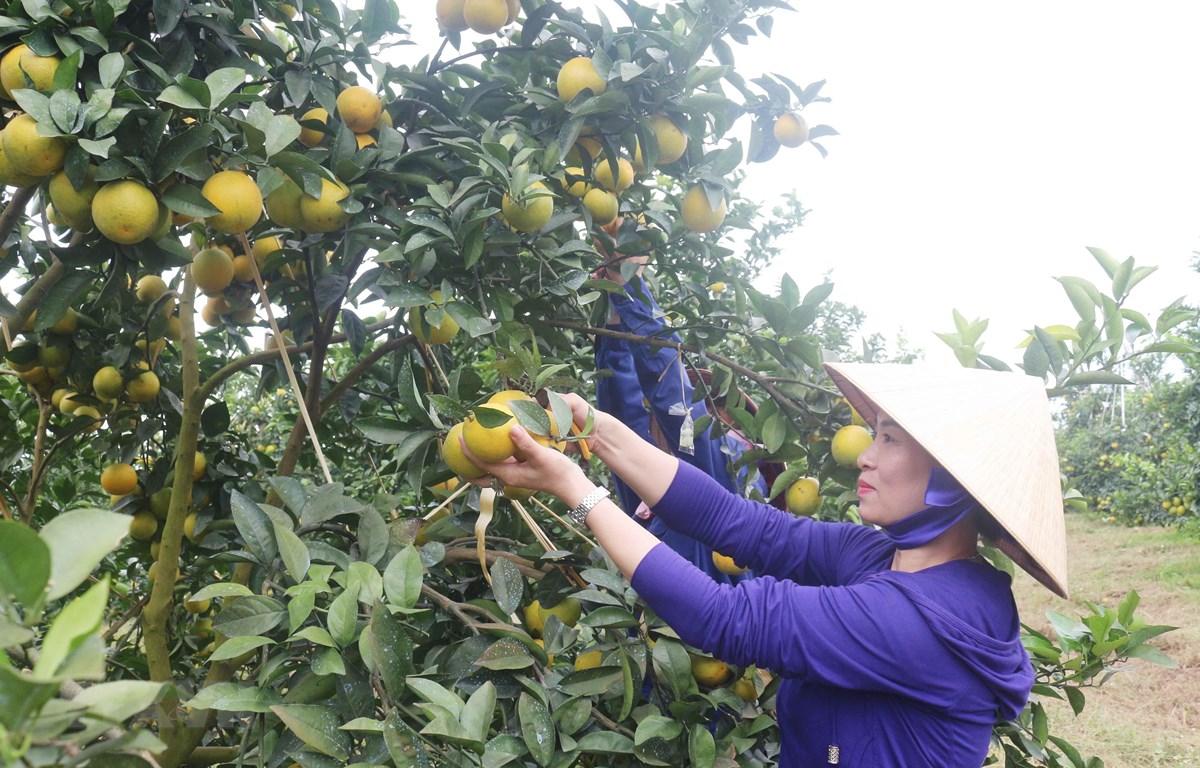 Cây cam cho hiệu quả kinh tế cao tại Nghệ An. (Ảnh: Nguyễn Oanh/TTXVN)